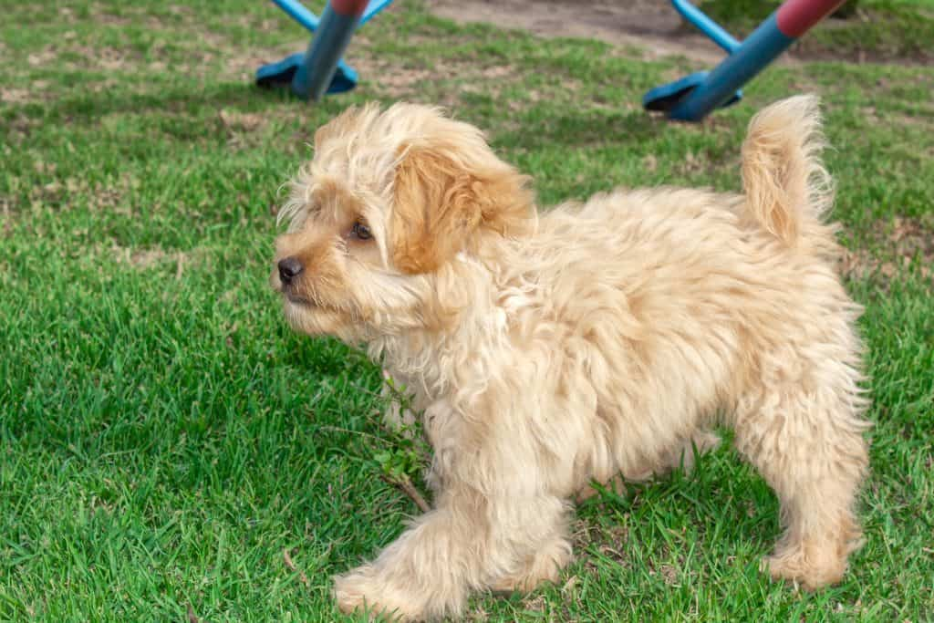 what are the smallest goldendoodles?