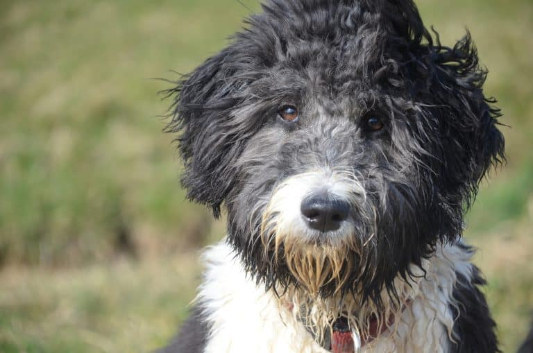How to choose an aussiedoodle