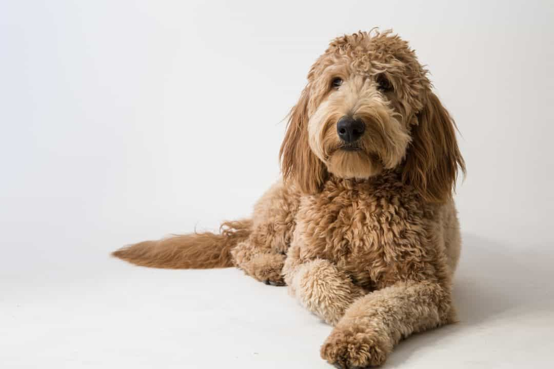 how to choose a goldendoodle